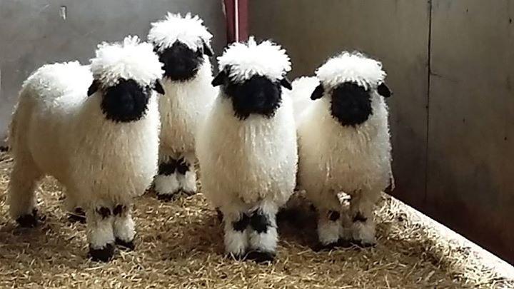 VBNS Sheep