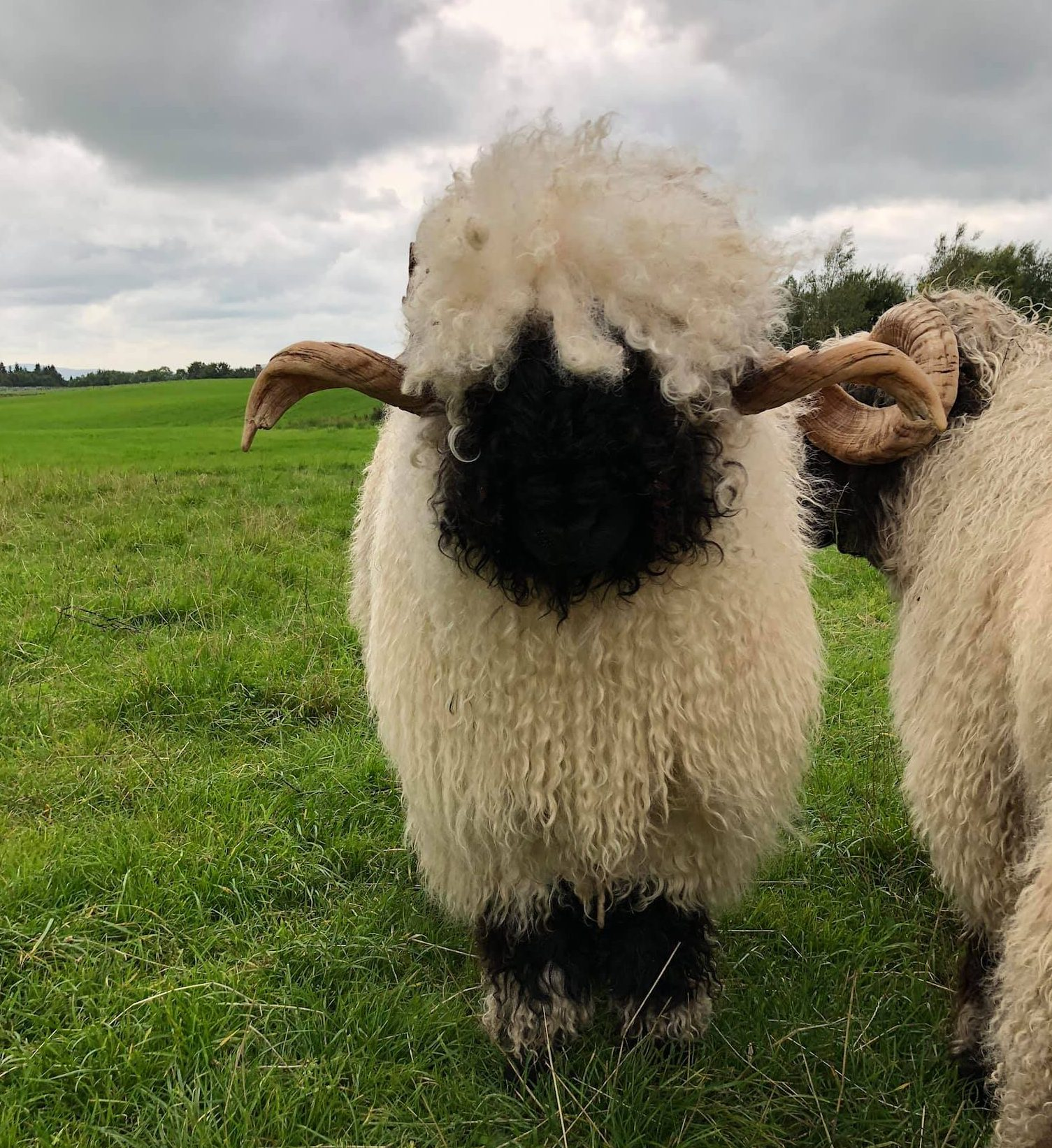 For Sale And Wanted Valais Blacknose Sheep Society
