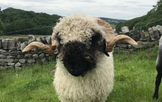 For Sale and Wanted – Valais Blacknose Sheep Society